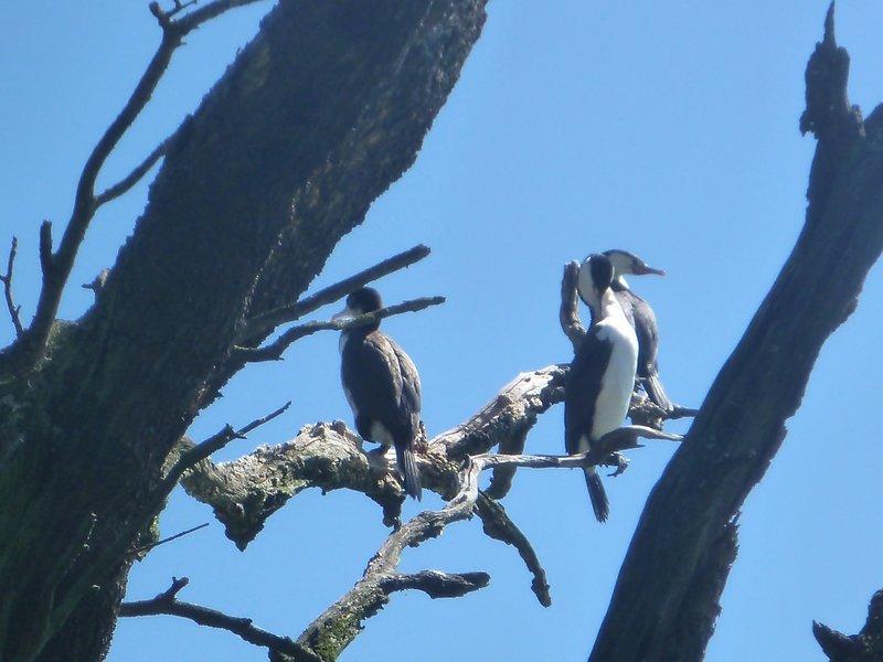 Shags nesting in beach tree over the road,  (3 min walk)