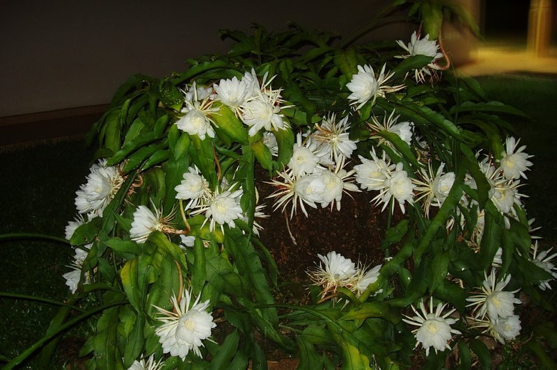 Rainha das flores noite no jardim
