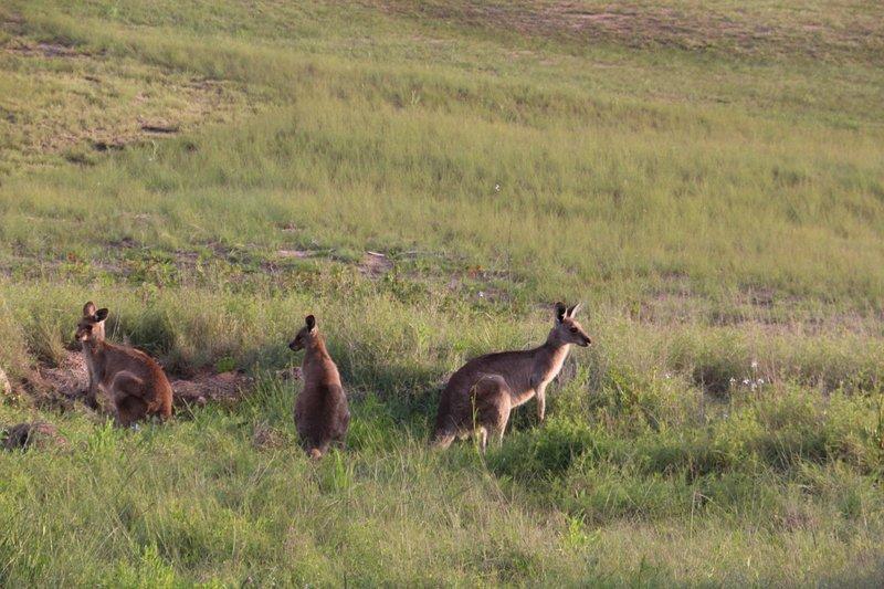 kangoeroes zie je ze rond 04:00 de meeste dagen