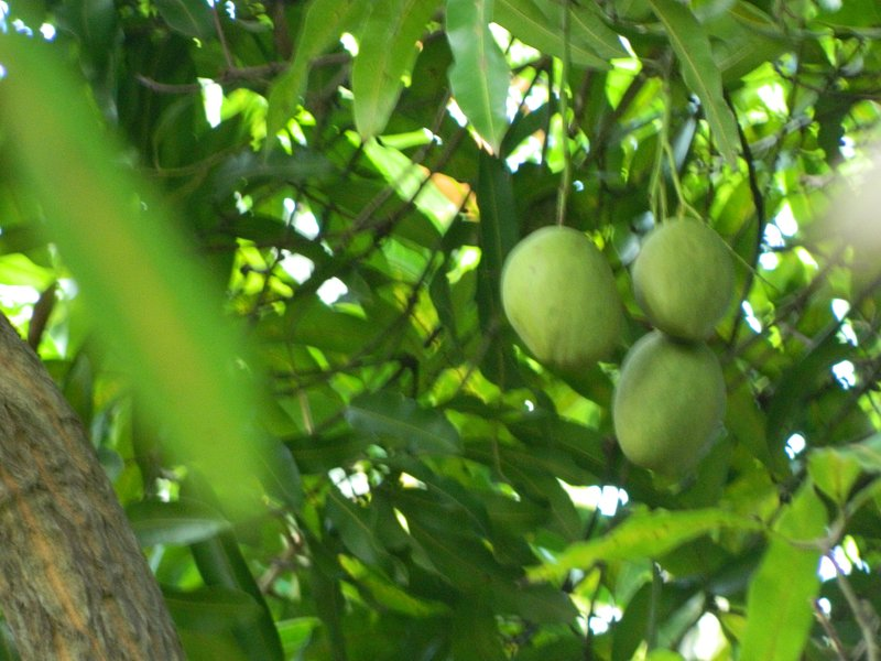Julie Mangoes Breadfruit, east indian mangos Julie Mangos also black Mangos along with sour sop