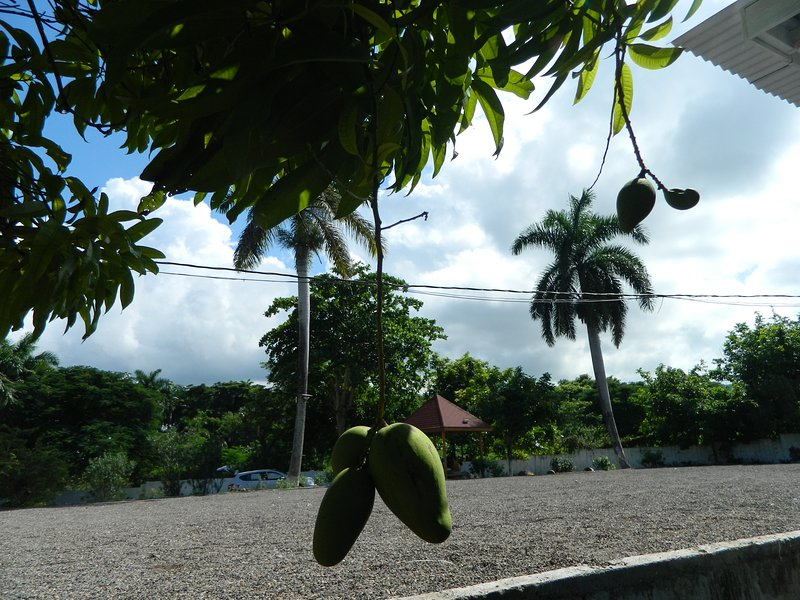 There are 3 types of mangos that grow on the property this is the east indian mangos