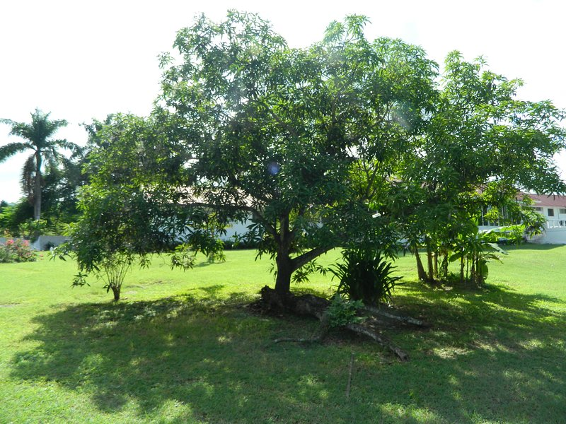 Black Mango tree when this tree bears fruit these mangos are exceptional .  3 varieties of mangos