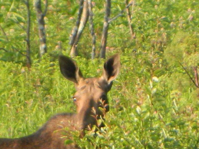 Moose sont à proximité!
