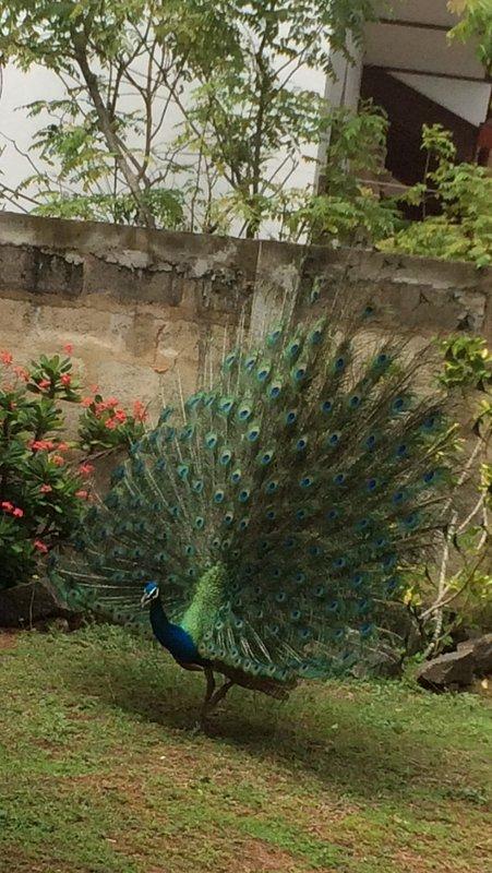 Pavone in giardino