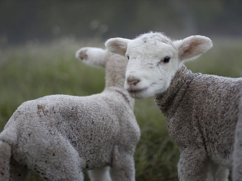 Spring lambs !