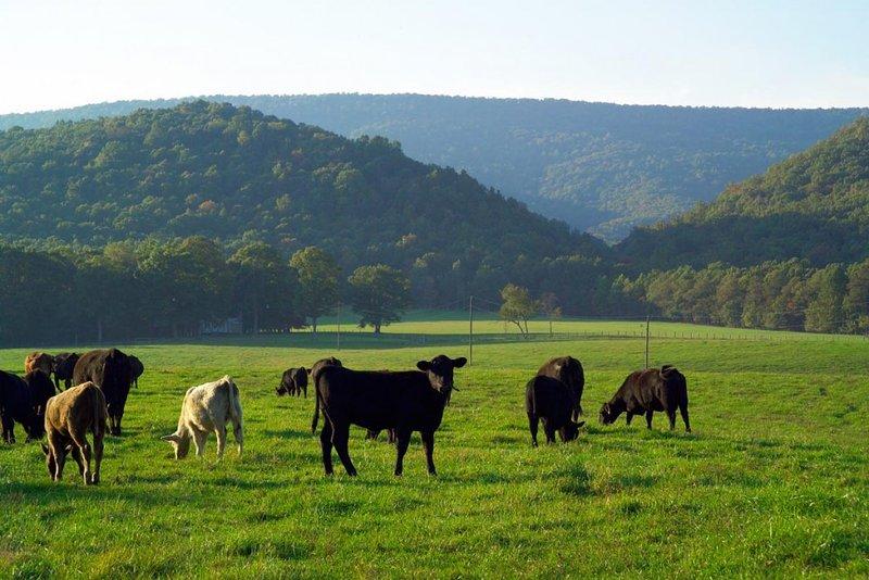 vacas angus preto circulando pelas pastagens
