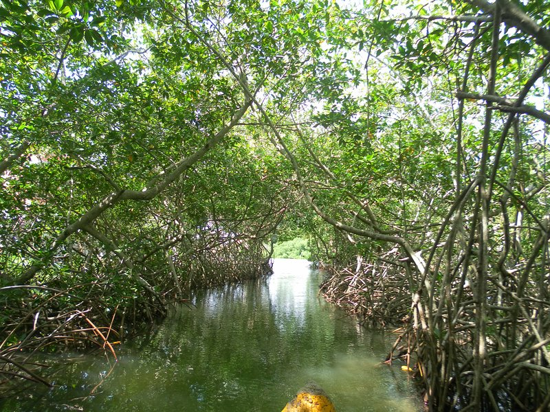 Tunnel between the mangroves of the swamp.
