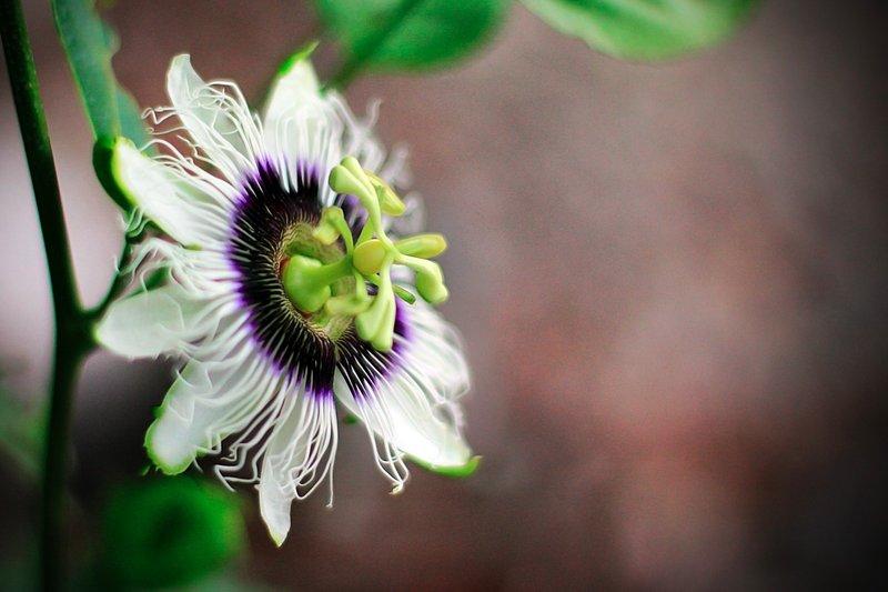 fiore di frutto della passione