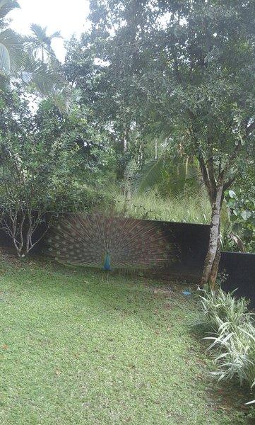 danza del pavo real en el jardín