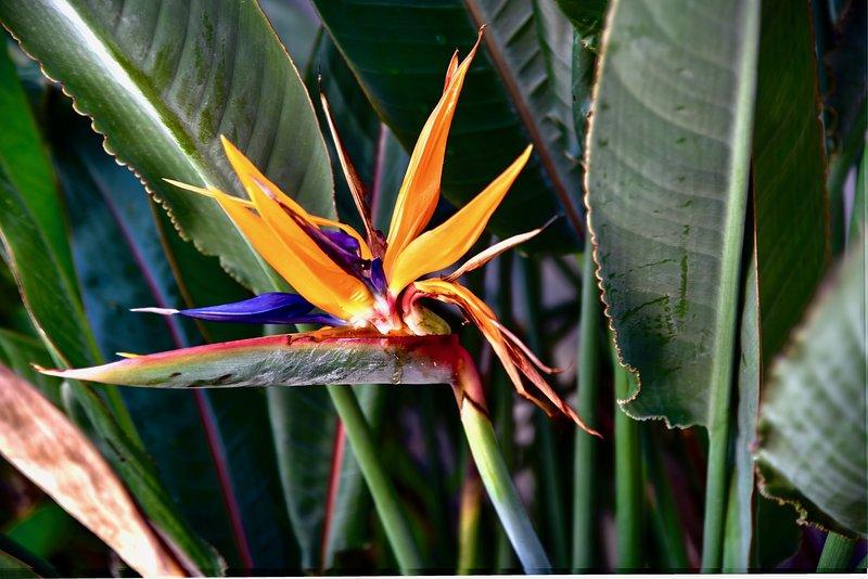 Bird of Paradise blommar vid bassängkanten.