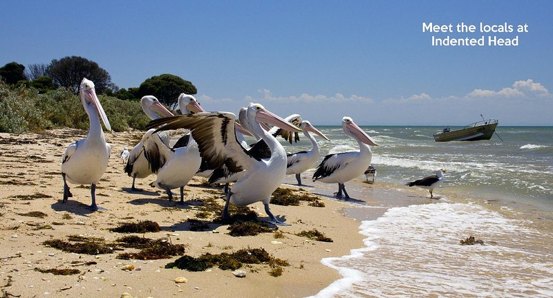 Come meet the local Pelicans at the Beach, only 400 metres away