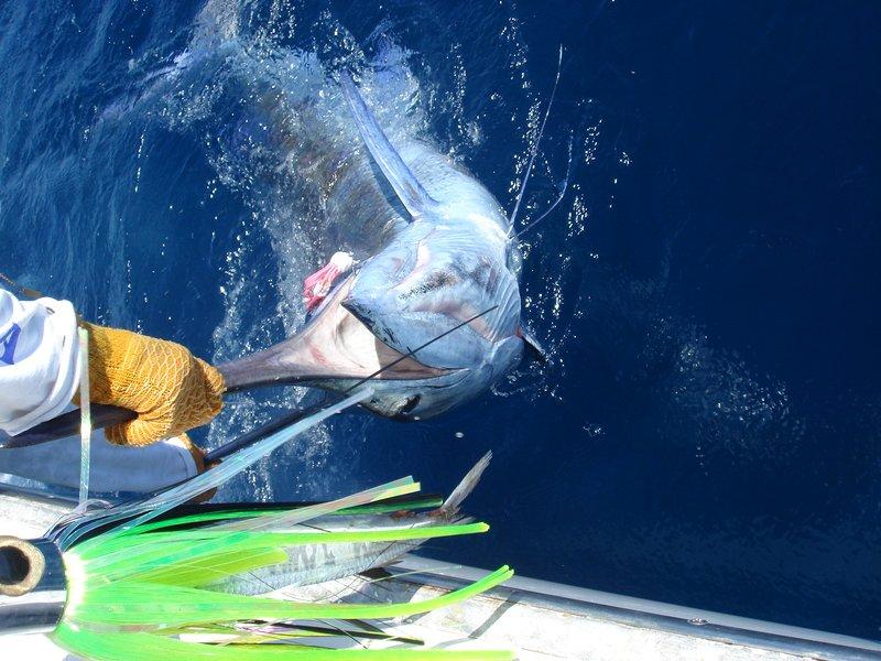 Blue Marlin είναι μεταξύ των πολλών ειδών ψάρια του ωκεανού διαθέσιμη μόνο offshoe