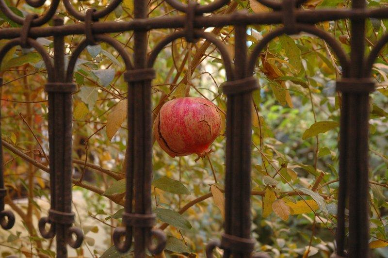 Granatapfelbäume im Hof gelegen mit Vögeln Boden zwitschern