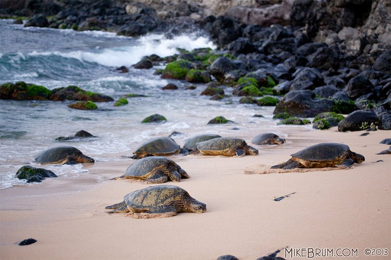 Les tortues sur la plage de Ho'okipa, un 4 min. conduire