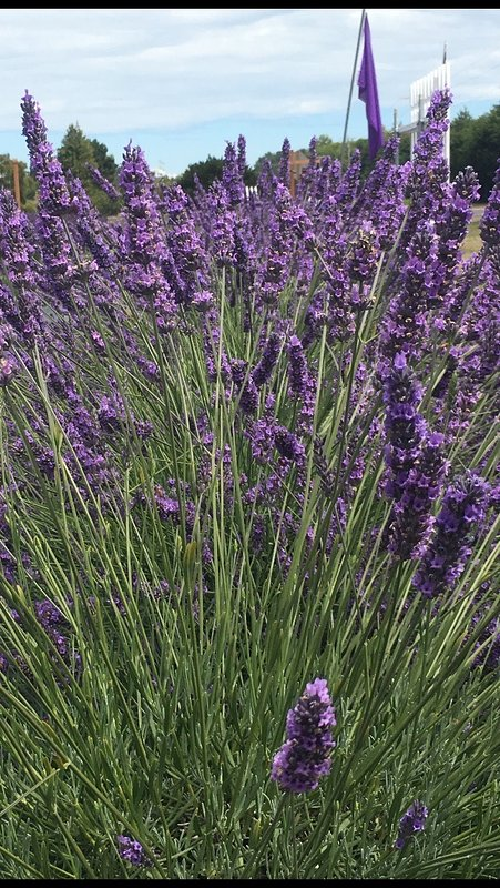 Visit lavender farms in Sequim