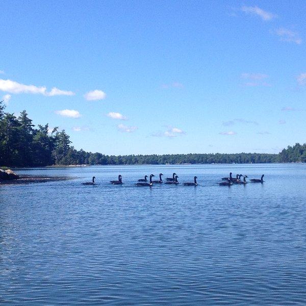 Canadese ganzen zwemmen door