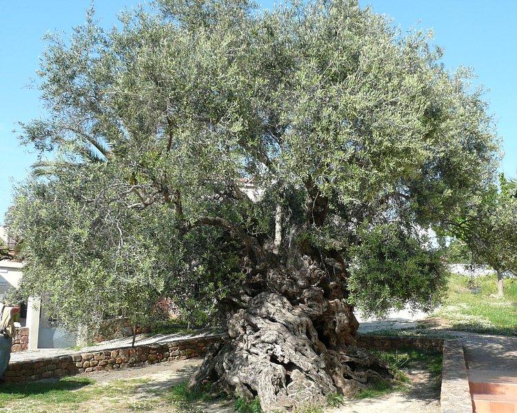 Découvrez: 'The Olive Tree de Vouves' - l'un des mondes les plus anciens oliviers
