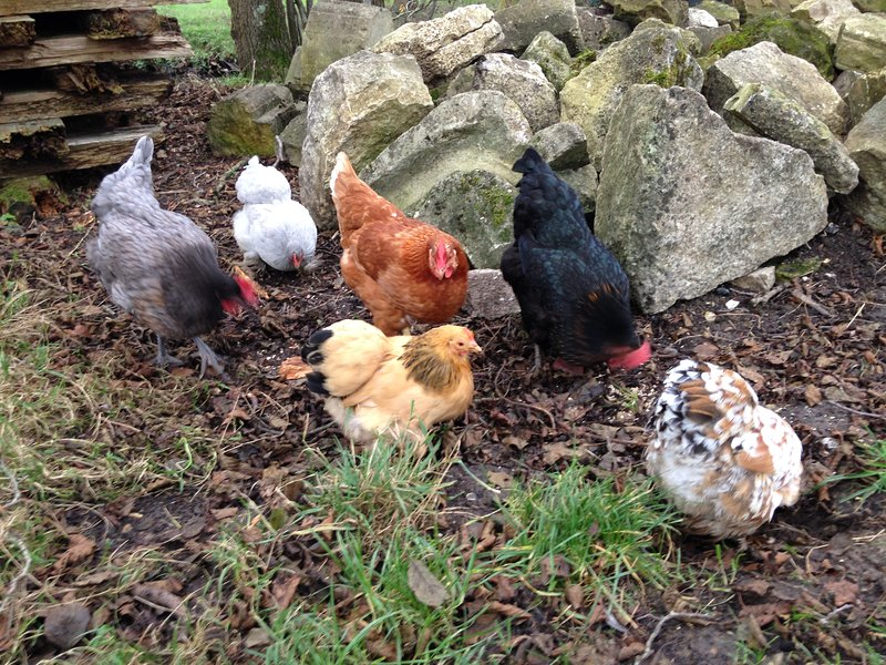 my lovely chickens