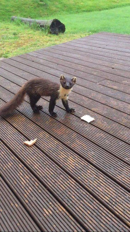 Some guests are lucky to see the Pine Marten eating his jam sandwiches