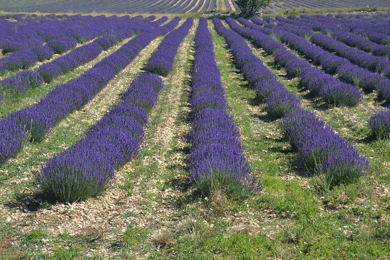 Velden Lavendel Lavender Fields
