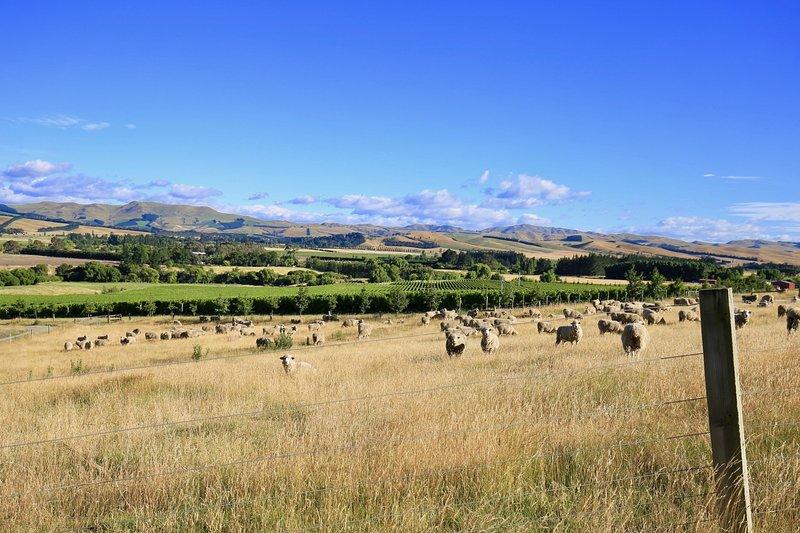 Watch sheep grazing between the vines
