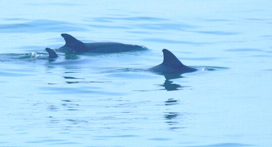 Les beaux dauphins sont des visiteurs fréquents à la plage!