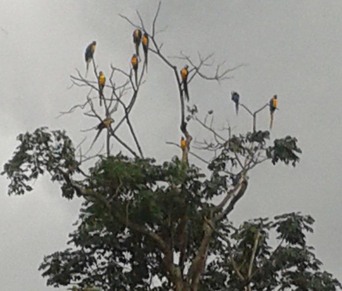 Macaws in the backyard