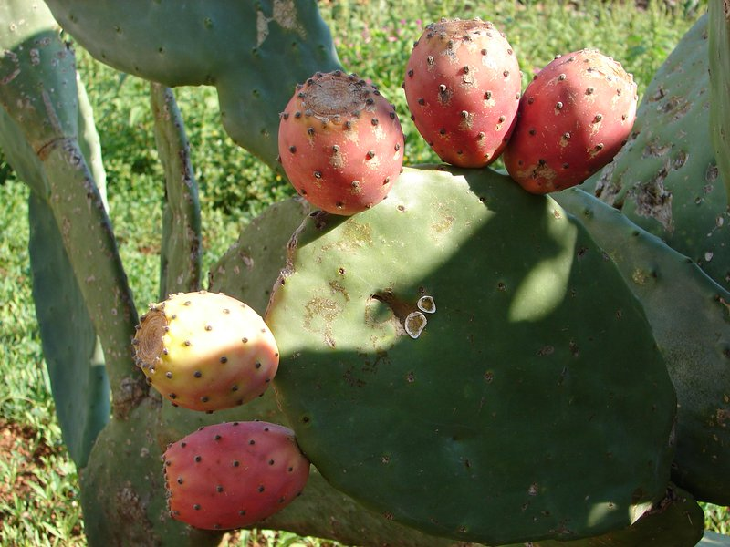 'The Fogge' - Prickly Pear
