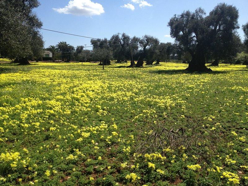 O nosso olival na Primavera.