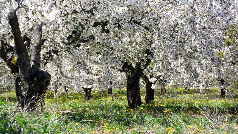 Eso se ve como el entorno de La Farigoule primavera -Champs de flores de cerezo