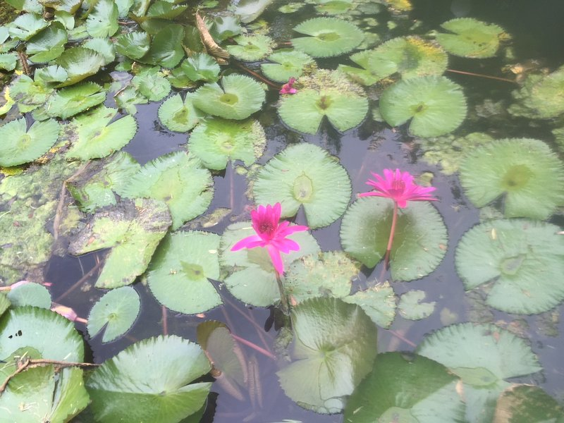 midnight blooming water lily