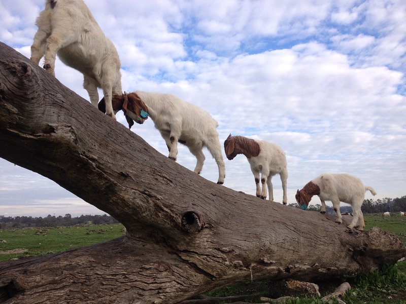 Boer cabras en la granja.