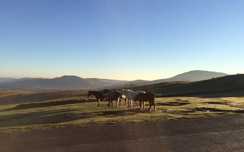 Wild ponies on the Long Mynd