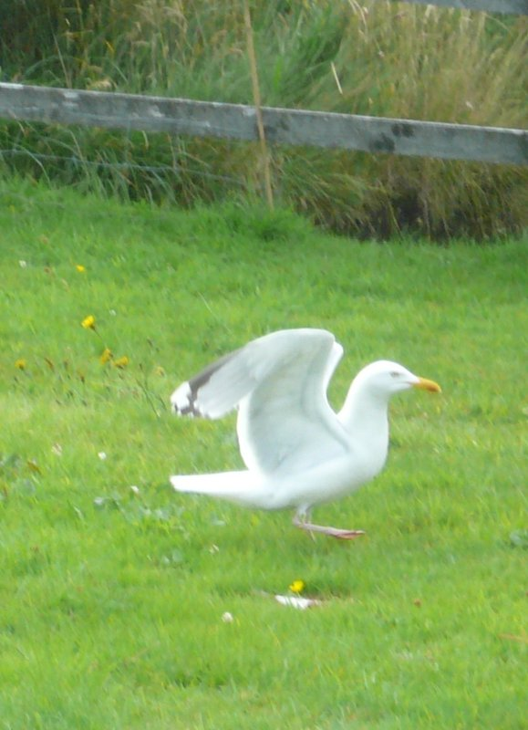 seagull on lawn in front of house