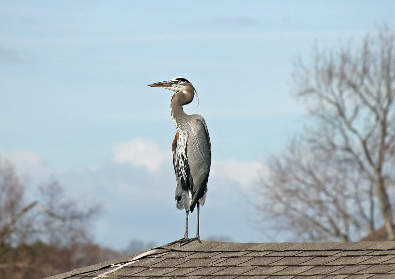 Blue Heron on the boat dock.