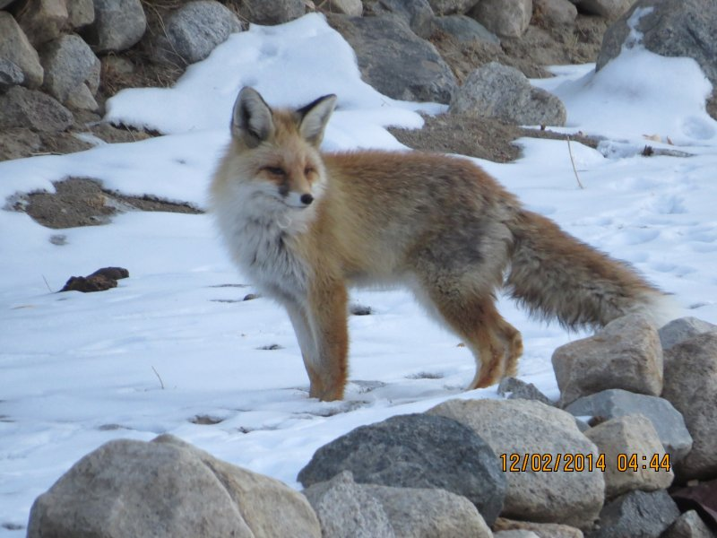 Fox - près de la loge