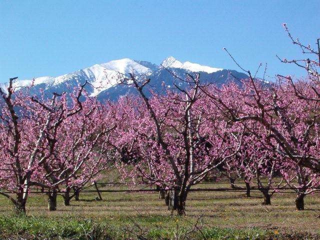 Blossom in spring.