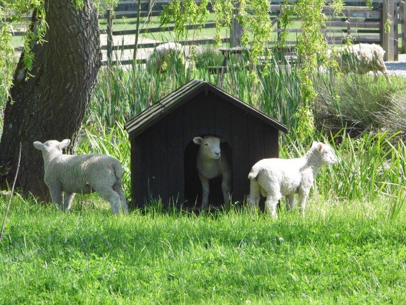 Spring lambs enjoying the sunshine