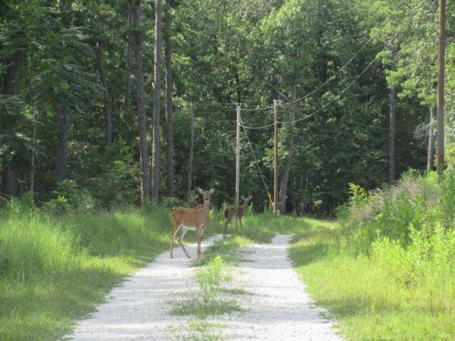 Ciervos vagar por el camino de tierra a la cabina. Ellos hacen grandes vecinos!