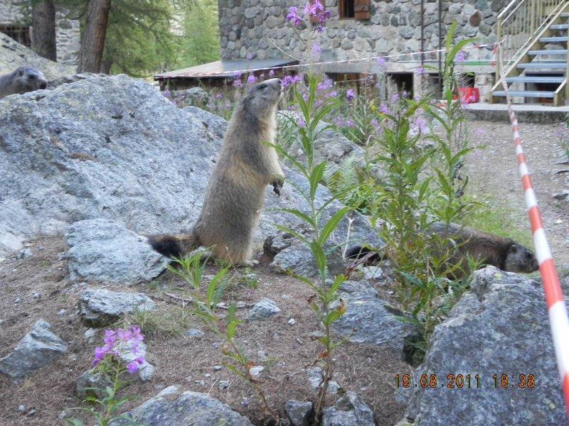 Marmote the Pre Mrs Carle (Pelvoux)