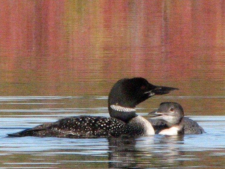 Esta família mergulhão retorna ao Bearcamp Pond cada ano para se reproduzir em um ninho plataforma especial.