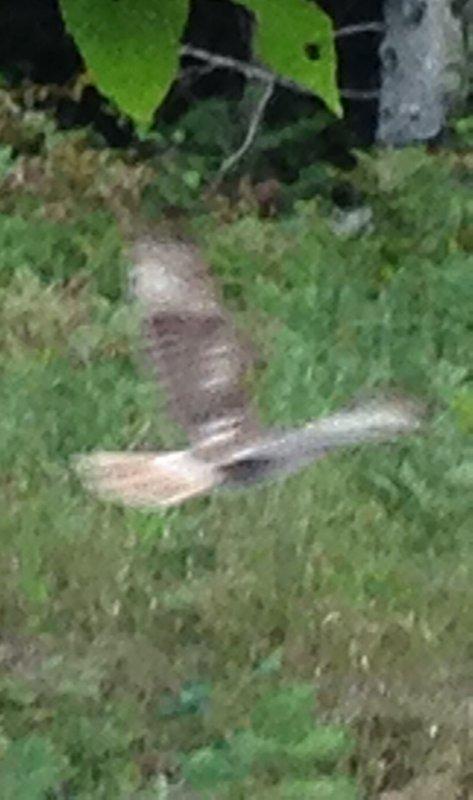 Roodstaartbuizerd vliegen over yard