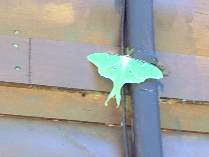 Luna Moth on the outside wall of the cabin