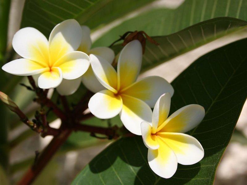 Indian Jasmine Front Garden