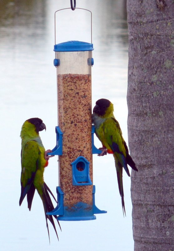 Enjoy watching the Beautiful Black Hooded Parakeets in the neighborhood