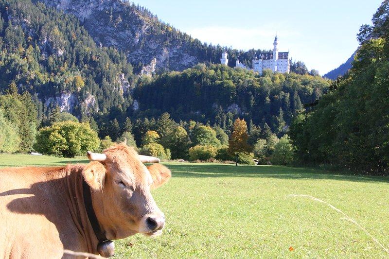 Felice Alpenkuh prima castello di Neuschwanstein in Schwangau in Algovia CR Alexander Hosp