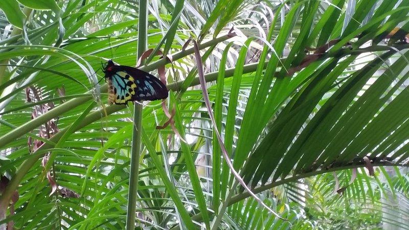 Cairns Birdwing Butterfly's visit Shambhala
