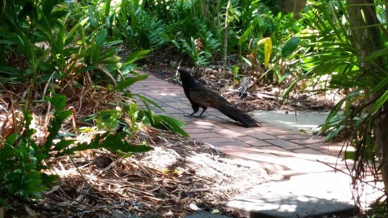 Pheasant Kucal clamber through the gardens.