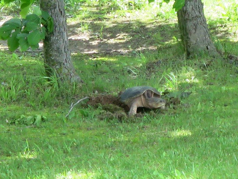 tartaruga agarrando foi lançado em um lago, depois de estar em nosso quintal.