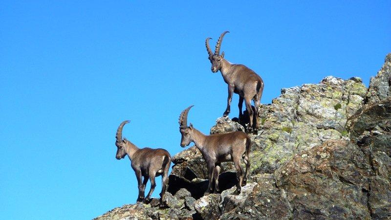 Ibex aan de voet van Obiou